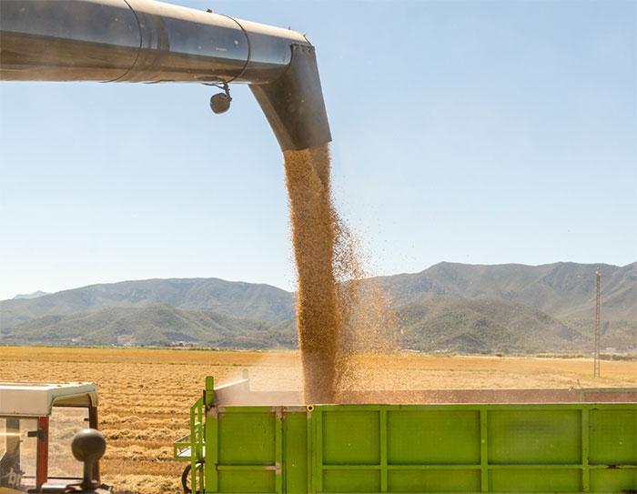 Recolectado el 25% del arroz del Sevilla