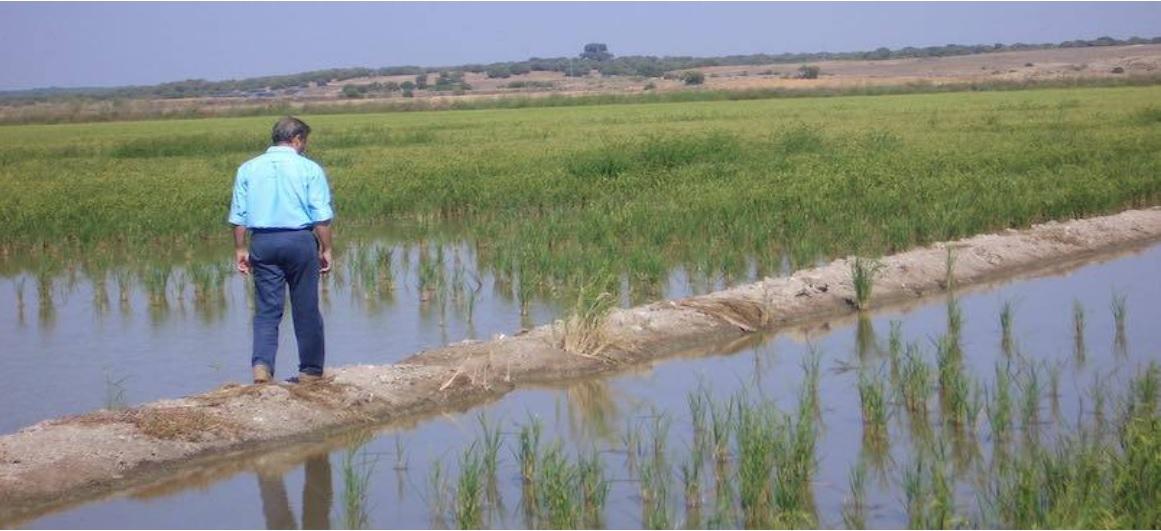 Un sello de calidad propio para preservar los valores del arroz cultivado en Sevilla