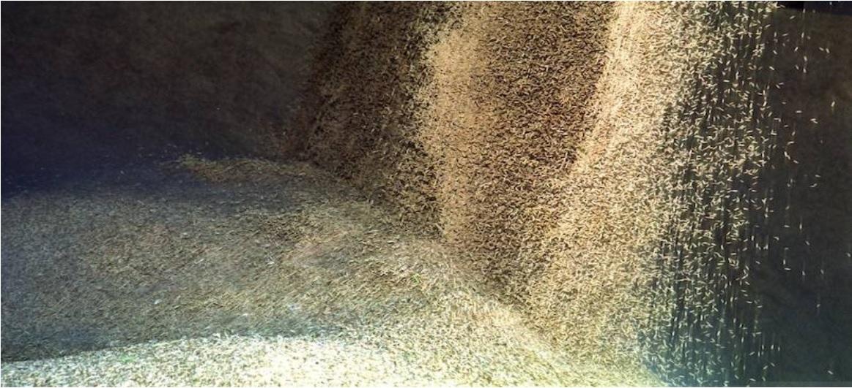 La salinidad del río merma la cosecha del arroz entre el 25-30%