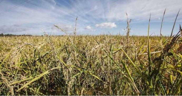 Las plantas de arroz en Simbiosis con un hongo, se vuelven más resistentes