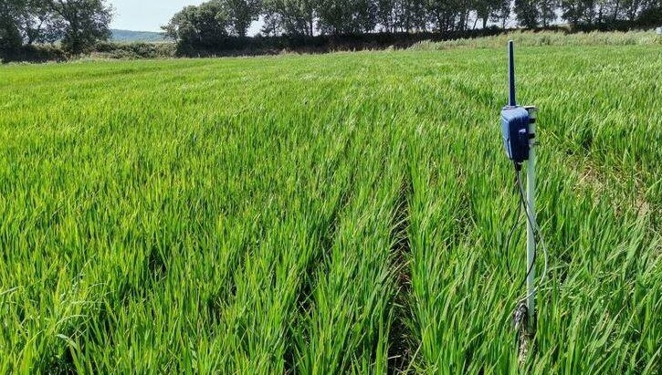 ABC Sevilla ¿Es posible cultivar arroz mediante riego por goteo??