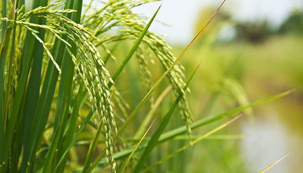 Benneo innova con un almidón de arroz instantáneo funcional para productos con etiqueta limpia