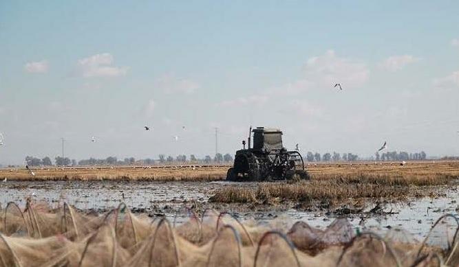 El sector arrocero pide a la UE que prorrogue las cláusulas de salvaguardia sobre el arroz a países terceros.