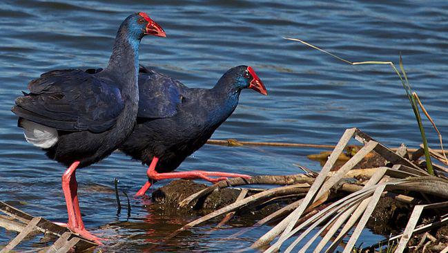 Se abre la veda a las indemnizaciones por daños producidos por aves protegidas en el entorno de Doñana