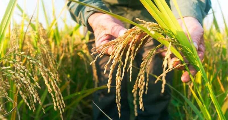 ABC Sevilla-Agrónoma: Tecnología para el control de malas hierbas en el arroz