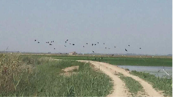 La Junta, condenada a pagar los daños del calamón en las cosechas de arroz
