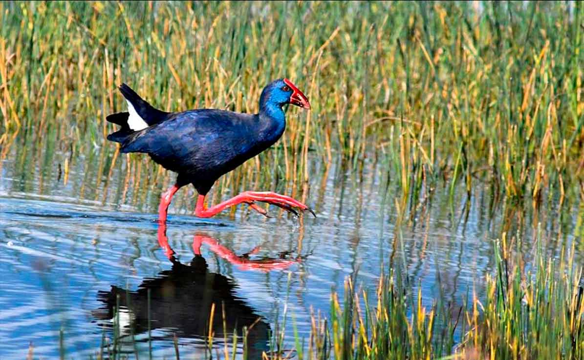 Condenan a la Junta de Andalucía a indemnizar a un agricultor de Utrera, por no proteger a los arroceros de los daños de aves.